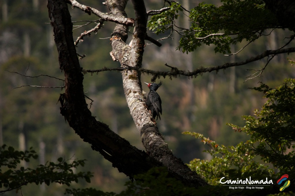 Huerquehue-carpintero negro hembra