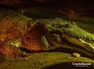 Le crocodile marin, superprédateur australien