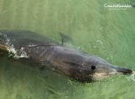 Alimentando delfines salvajes en Monkey Mia